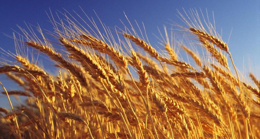 Год зерна. Крестьян ждут хороший урожай и высокие цены на пшеницу